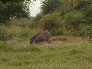 Hunting Wild Pig