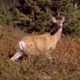 How To Hunt Mule Deer