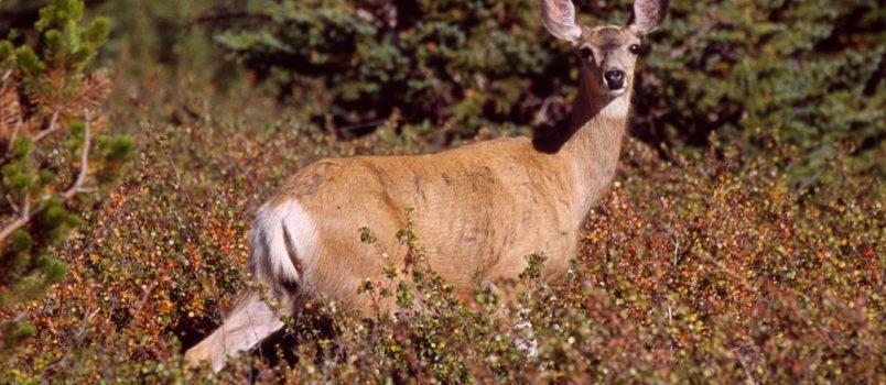 How To Hunt Mule Deer